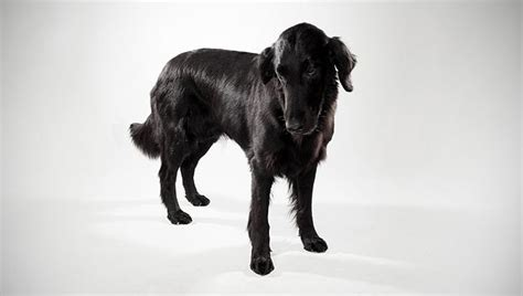 flat coated retriever molting german shorthaired pointer and german wirehaired crosses