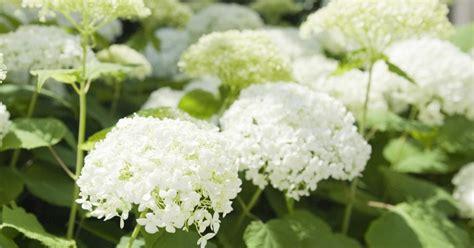 schneeball hortensie schneiden schneeballhortensie pflanzen pflegen und schneiden informationen tipps tricks mein