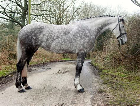 irish draught horses horse sport draft grey breeds dapple ireland warmblood mare sports draughts andalusian appaloosa toast cute sphotos fbcdn