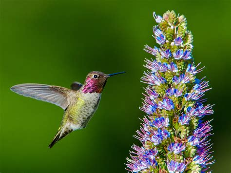 anna s hummingbird mendonoma sightings