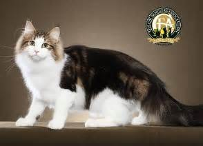 forest cat price breed profile the forest cat