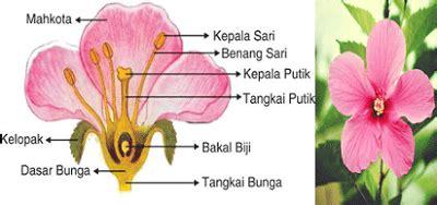 bagian bagian bunga kembang sepatu beserta fungsinyaciri