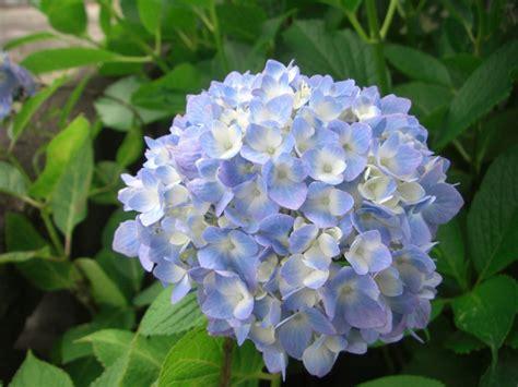 deco cuisine bleu cultiver des hortensias pratique fr