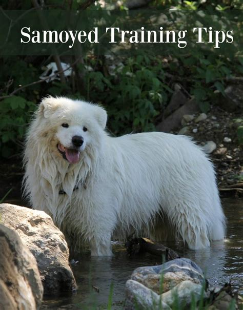 17 Best Ideas About Samoyed Puppies On Pinterest Samoyed
