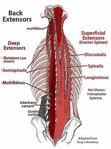 Paraspinal Muscles Anatomy Tag Thoracic Paraspinal Muscles