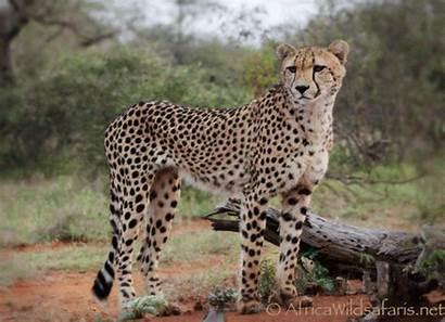 Safari Cheetah Africa South Sabi Sands Safaris