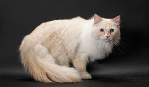ragamuffin cat cat breed selector