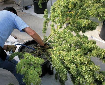 recolte cannabis interieur gramme quand et comment r 233 colter plants de marijuana en exterieur