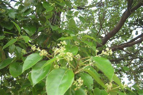 Cinnamomum Camphora Camphor Tree Seed