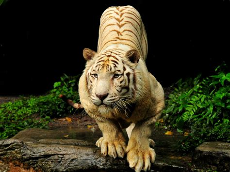 Best Desktop Wallpaper Tiger Wallpapers
