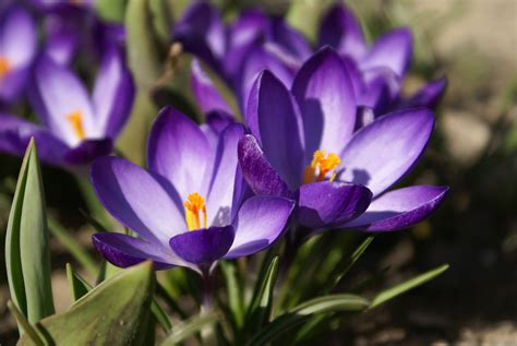 image gallery winter crocus