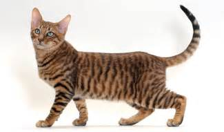 tiger cat breed toyger cat breed information