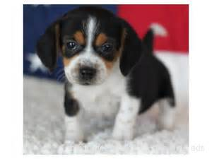 Beagle Puppy Adoption