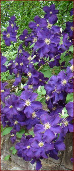 Clematis Jackmanii The Rich Purple, 5 Inch Flowers Appear