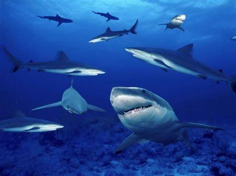 Tiburones en el mar 800x600 :: Fondos de pantalla y