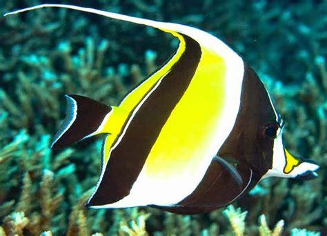53 top gambar ikan cupang black king