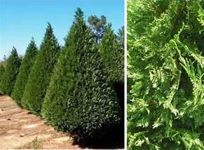 Leyland Cypress Christmas Trees Louisiana by Leyland Cypress
