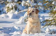 Golden Retriever Puppies Winter Desktop