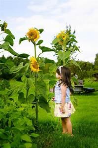 Growing Sunflower Plants