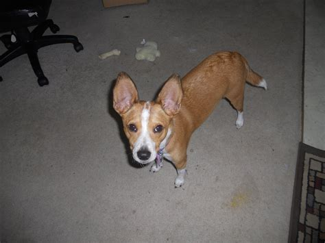 corgi basenji mix dog breeds picture