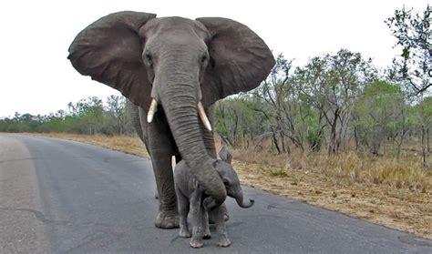video mother elephant teaches baby   talk