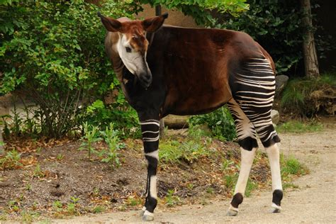 Celebrate World Okapi Day!  Cincinnati Zoo Blog