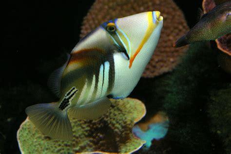 hawaiian triggerfish rhinecanthus aculeatus