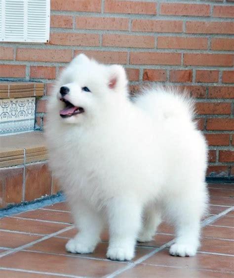 Pomeranian Dog Breed Information I Want Dogs Cute