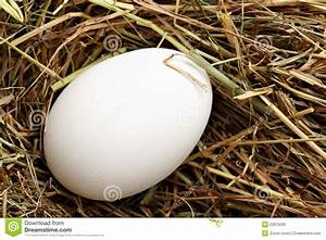 White Hen Egg Royalty Free Stock Photo - Image: 23915285