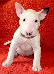 147 best Cute Bull Terrier Puppies images on Pinterest ...