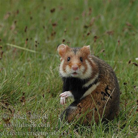 Hamster Chrček roĺný poĺný Inheemse hamster Europese wilde ...
