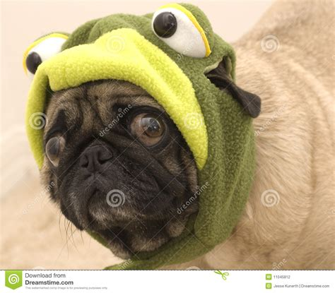 cute pug dressed   frog stock photography image