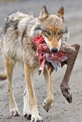 denali wolf hunt nears opening   population