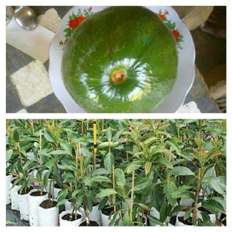 jual bibit tanaman buah alpukat kendil di lapak gerai bibit geraibibit