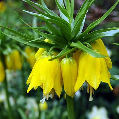 fritillaria crown imperial lutea x 10 flower bulbs
