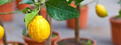 Limone In Vaso Cure by Agrumi In Vaso Le Cure Di Stagione Cose Di Casa