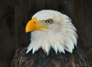 Show-Me Images of American Bald Eagle