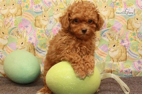 Red Female Poodle Toy Puppy For Sale Near Oklahoma City