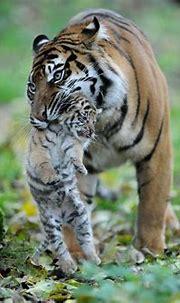 PHOTOS: Rare Tiger Cubs Make Their Debut   Funny animal ...