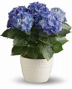 Hortensie Als Zimmerpflanze : diese zimmerpflanzen sind schattig und pflegeleicht ~ Lizthompson.info Haus und Dekorationen