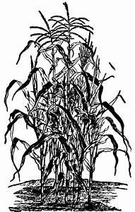 Corn Plant | ClipArt ETC