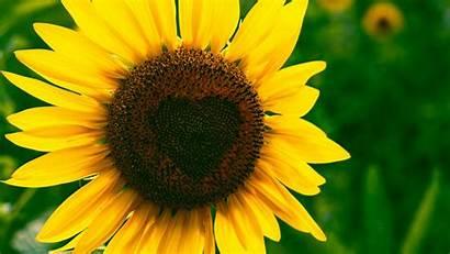 Sunflower Heart Bloom Flower Laptop Background Tablet