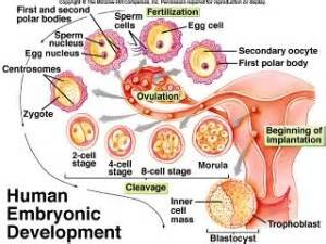 Prenatal Development - Nursing Crib