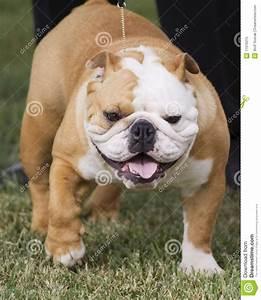 British Bulldog Royalty Free Stock Photo - Image: 11976315