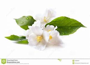 Jasmine White Flower On White Background Stock Photo ...
