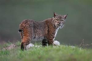 Bobcat – Las Palmas Ranch, Salinas Valley, California ...