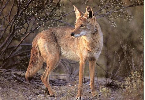 Images Of A Coyote Coyote