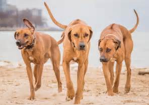rhodesian ridgeback dog breed information puppies pictures