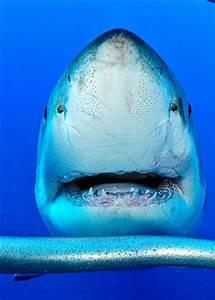 Sentidos del tiburón TIBURONPEDIA
