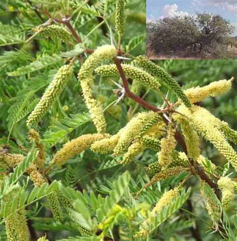 edible flower shop prosopis glandulosa torreyana honey mesquite